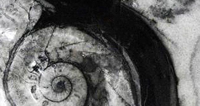 Colección Goniatitida 3D – Goniatites
